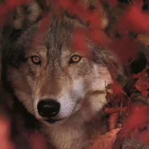 lobo_hojas rojas