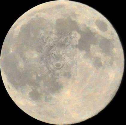 Loba en la luna