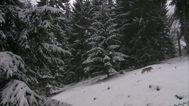 lobo-bosque-de-coniferas-depredador