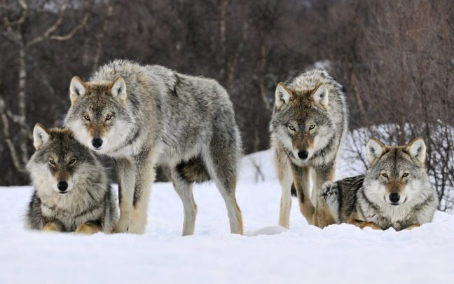 donde-viven-los-lobos