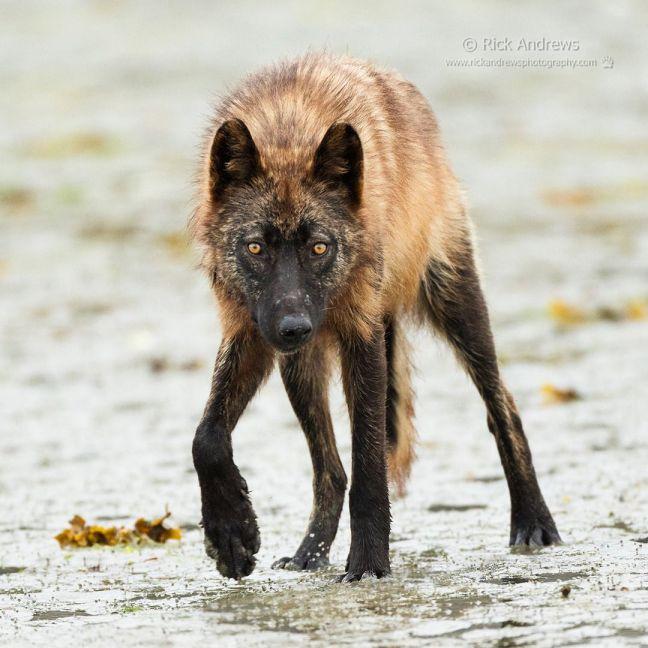Lobo costero_Columbia británica
